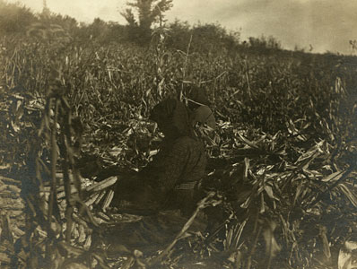 husking corn in the field