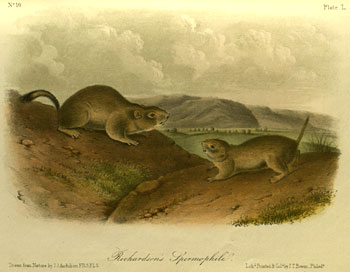 Audobon plate of Richardson's Ground Squirrel