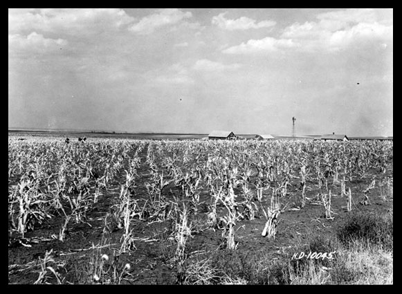 Dried up corn stalks caused by drought
