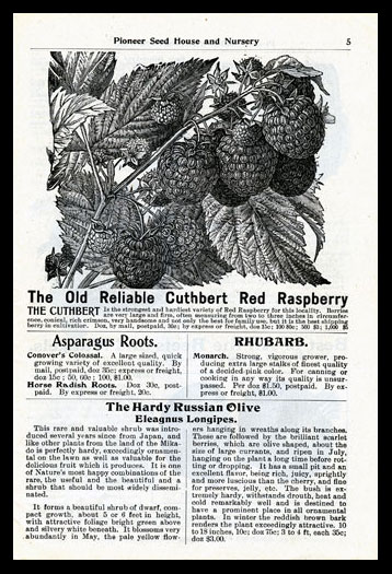 The Old Reliable Cuthbert Red Raspberry