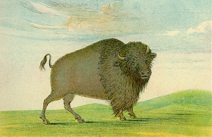 Catlin sketch of buffalo