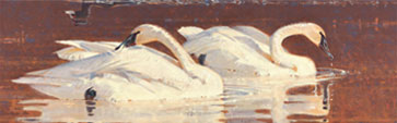 Birds in Art - Resting Trumpeters with Exiting Coot by James Morgan